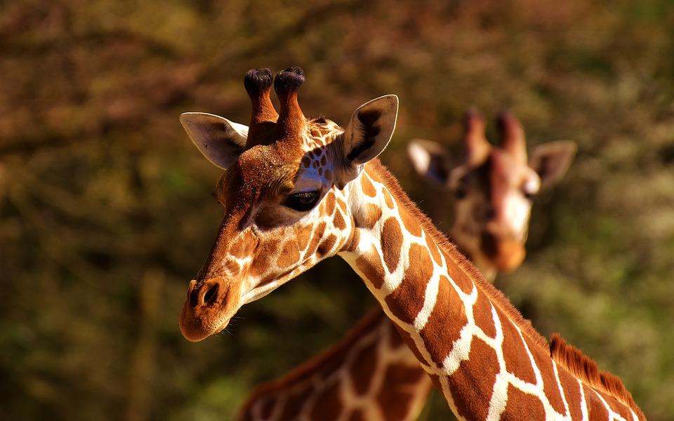Communication non-violente comment pratiquer la CNV Girafe symbole Marshall Rosenberg